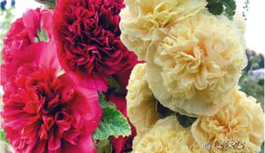 Чай Похудей — Помогает Или Нет. Цветок мальва: виды и описание, выращивание из семян