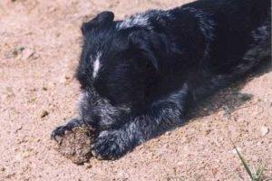 Если собака ест экскременты причины и лечение. Почему собака ест чужой кал и что делать. Щенок ест свои экскременты, чего ему не хватает