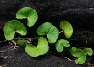 Экстракт центеллы азиатской (готу-кола). Центелла азиатская – как одно растение может избавить вас от морщин