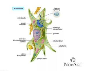 Фибробласты в косметологии. Фибробласты - это что такое? Клеточное омоложение фибробластами. Фибробласты, стволовые клетки и онкогенез