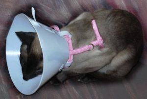 Воротник для кошек и его назначение. Как сделать защитный воротник своими руками