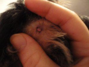 Геморрой у шпица симптомы. Бывает ли геморрой у собак. Как проявляется недуг