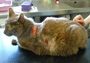 Гормональные заболевания у кошек. Эндометриоз у кошек: особенности заболевания, признаки и лечение