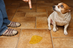 Почему щенок часто мочится что делать. Что делать, если щенок часто мочится. Способы отучения щенка писать дома