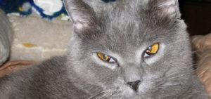 Третье веко у кошек. Что делать, если у кошки появилось третье веко? У кошки не открывается третье веко