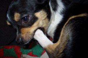 Почему собака грызет когти: причины психологические и физические. Почему собака грызет лапы Собака постоянно кусает заднюю лапу причины