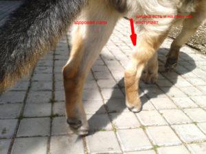 У лабрадора отказывают задние лапы. У собаки отказали задние лапы. Что делать? Причины, симптомы и все об этом. Диагностика и дифференциальное диагностирование