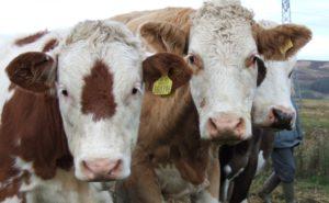 Симптомы и методы лечения атонии преджелудков у коровы. Атония преджелудков и ацидоз рубца у коров