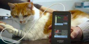 Высокое давление у собак и кошек: причины, симптомы, как измерить. Измерение артериального давления у собак и кошек Повышенное давление у собаки