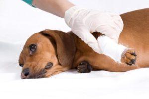 Гусят порвала собака чем лечить раны рваные. Рана у собаки: чем обработать, лечение, что делать. Препараты для лечения ран