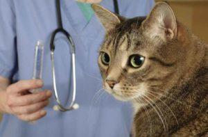 Кошка кашляет по ночам. Профилактика и лечение. Если кот кашляет и хрипит, какие нужны исследования у ветеринара