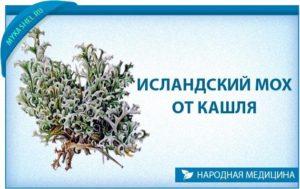 Ирландский мох: лечебные свойства. Исландский мох от кашля