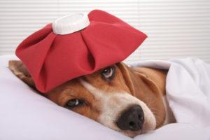 Как лечить сотрясение мозга у собаки. Сотрясение мозга у собаки: симптомы, лечение. Сотрясение мозга у собаки лечение в домашних условиях