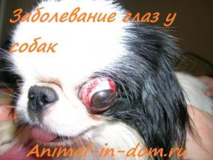У каких пород собак выпадают глаза. Собака, у которой выпадают глаза – что это за недуг и как он лечится Как называются собаки у которых выпадают глаза