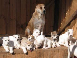 Как правильно выбрать щенка алабая? Плюсы и минусы породы. Советы по выбору щенка среднеазиатской овчарки В каком возрасте лучше брать алабая