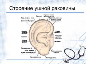 Строение человеческого уха. Строение и схема ушной раковины человека