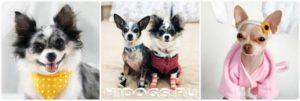 Сколько лет живут собаки чихуахуа. Сколько живут чихуахуа в домашних условиях? Сколько в среднем живут собаки