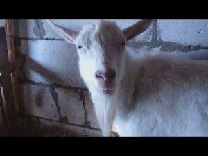 Кровяные выделения у козы после родов. Выделения у козы
