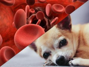 Как лечат анемию у собак? Почему развивается анемия у собак и как её лечить