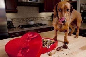 Можно ли давать собаке пастернак. Можно ли собакам сладкое? Сладости, опасные для собак