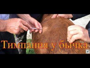 Крс вздутие живота лечение. Опасность и лечение тимпании рубца или вздутия у коров
