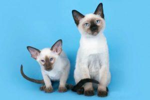Сравнение тайской и сиамской кошки. Основные отличие сиамской кошки от тайской. Рацион тайской кошки