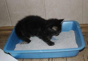У кошки не усваивается пища понос. Заболевание ЖКТ понос у кошки: лечение в домашних условиях. Признаки, что надо к врачу