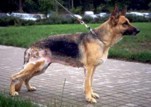 Аллергия у немецкой овчарки лечение. Немецкая овчаркаособенности заболеваний немецких овчарок