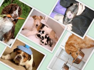 Бывает ли у собак геморрой и как его лечить. Бывает ли геморрой у собак? У собаки вылез геморрой что делать