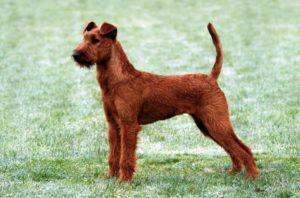 Ирландский гладкошерстный терьер. Подробное описание и характеристика породы собак ирландский терьер. Ирландский мягкошерстный терьер