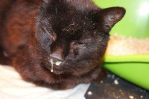 Котенок не дышит носом что. У кошки заложен нос: причины и лечение насморка
