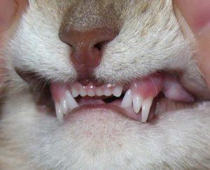 Болят ли у кошек зубы. У кошки болят зубы: проблемы и заболевания зубов у кошек. Как лечить коту зубы. Факторы, влияющие на здоровье зубов у кошки