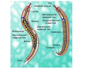 Внешнее строение круглых червей кратко. Круглые черви: что это за паразиты и чем отличаются от плоских червей