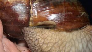 У улитки ахатины разрушился панцирь. Улитки ахатины уход. Проблемы со здоровьем