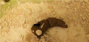 У кота в какашках черви что делать. У кошки в кале белые червяки. Что делать, если у кошки глисты