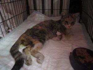 У кота отказали ноги что делать. Слабость в задних лапах у кошек: причины тяжелого состояния