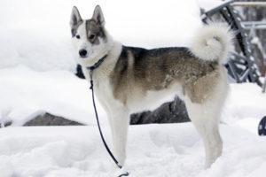 Фотографии собак породы лайка. Виды лаек с фотографиями и названиями. Рацион питания и здоровье