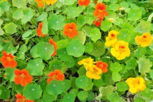 Настурция — красивые и вкусные цветы. Состав и полезные свойства настурции. Полезные свойства настурции
