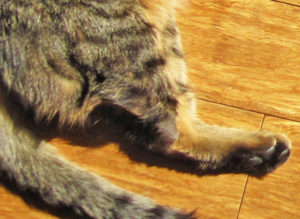 Кот захромал на переднюю лапу. Кот хромает на переднюю лапу что делать в домашних условиях и не наступает на нее. У котенка хромает лапка и опухла лапа что делать и как исправить