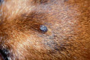Вакцинотерапия в лечении меланомы у собак. Меланома у собак и кошек