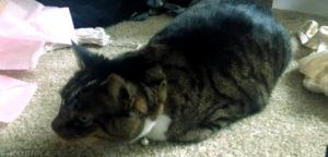 Кошка подкашливает как будто подавилась. Кошка кашляет и хрипит вытягиваясь и прижимаясь к полу: что делать, тяжело дышит, причины и лечение