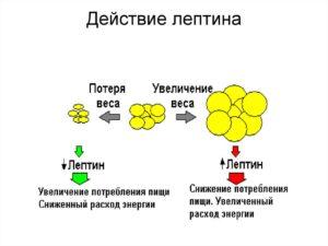 Лептин повышен препарат для снижения. Лептин (гормон) повышен - что это значит? Лептин - гормон насыщения: функции и его роль. Методы лечения повышенного лептина