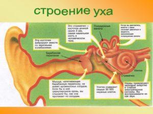 Строение уха анатомия. Строение уха человека, картинки и описание для детей