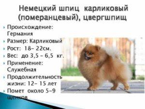 Рост шпица и его примерный вес. Предупреждение болезней или нормальный вес щенка и взрослого померанского шпица Померанский шпиц 4 месяца размер вес