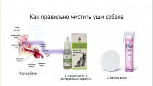 Чем чистить уши собаке в домашних условиях. Как и чем чистить уши собаке в домашних условиях? Как мыть уши собакам