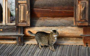 Как помочь котенку привыкнуть к новому дому. Как адаптировать кошку или кота к новому дому или квартире. Переезд с кошкой в деревню, на дачу или сельскую местность