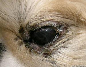 Диагностика и лечение гноящихся глаз. У пекинеса выпал глаз – что делать