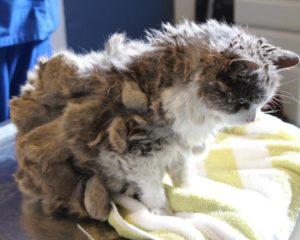 У длинношерстной кошки колтуны. Колтуны у кошки: правильно расчесываем и выстригаем шерсть. Причины образования колтунов