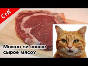 Когда можно давать сырое мясо котятам. Комнатный хищник — можно ли давать коту сырое мясо? Можно ли давать коту сырую говядину