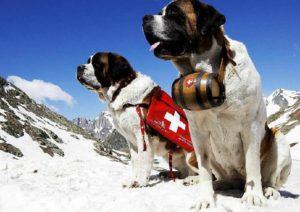 Швейцарская собака спасатель. Сенбернар — настоящая собака-спасатель. Сила, нюх и бесстрашие